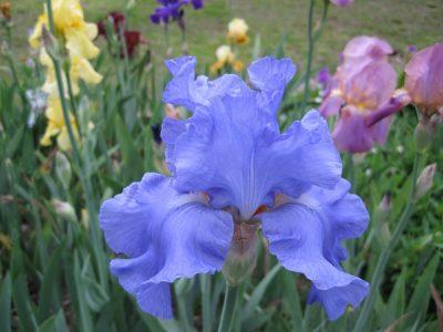 ดอกไอริส แห่งความรักที่บริสุทธิ์