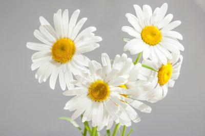 ดอกเดซี่ ดอกไม้แห่งรัก