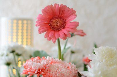 ดอกเยอบีร่า สีสันแสนสวยสดใส