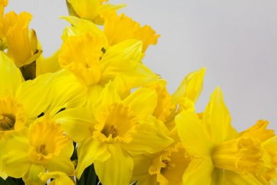ดอกแดฟฟอดิล ดอกไม้ของเพื่อนแท้