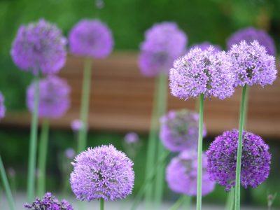 ดอกอัลเลี่ยม Globemaster Allium