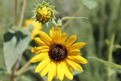 ดอกบัวตอง Mexican sunflower
